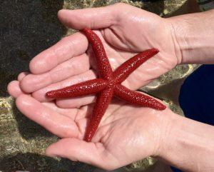 Seestern entdeckt beim Schnorcheln auf Korsika