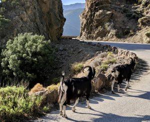 Ziegen auf der Fahrbahn auf Korsika