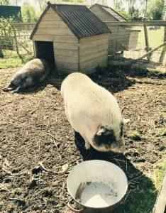 Die beiden Hängebauschweine neben der Jurte auf dem Bauernhof in Holland