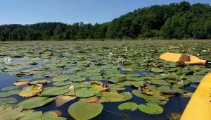 Seerosen an der Mecklenburgischen Seenplatte