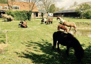 Die Pferde und Ponys des Bauernhofes in Holland
